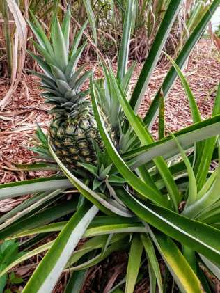 Local community garden pineapples